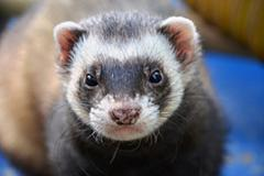 Ferret Basics – 7 Things All Owners Need to Know