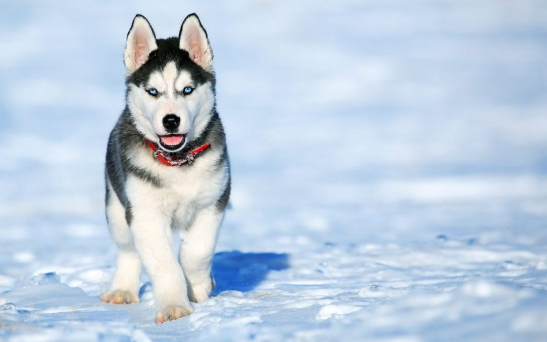 Identifying Canine Zinc Deficiency