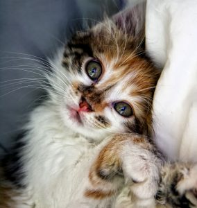 Buy kitten food online in Canada at Canadian Pet Connection