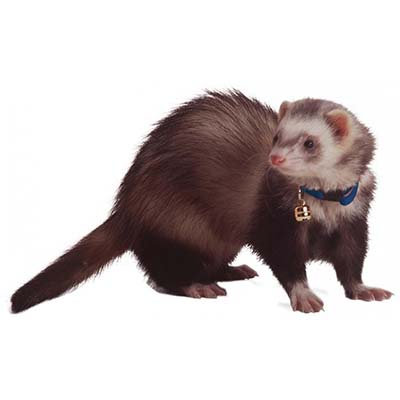 Marshall Ferret Collar With Bell