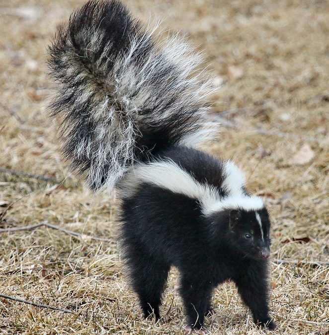 How To Avoid Skunks – And What To Do If Your Dog Gets Sprayed!