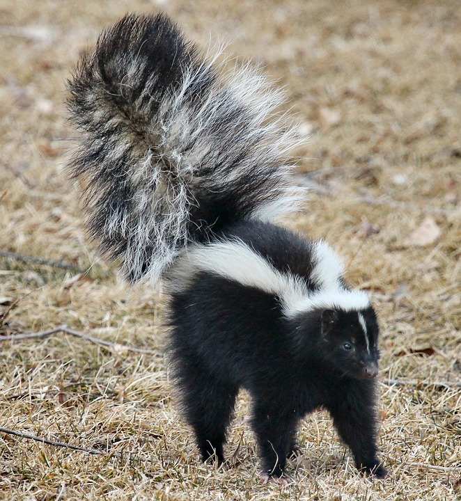 learn how to avoid skunks and what to do if your dog gets sprayed