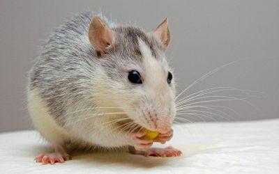 Rats – The Perfect Pocket Pet!