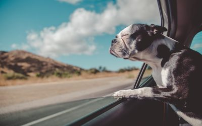 Safely Driving With Dogs